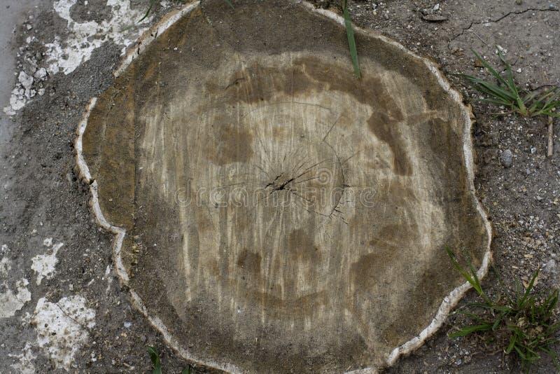 Ξύλινη ρίζα Cuted στοκ εικόνα με δικαίωμα ελεύθερης χρήσης