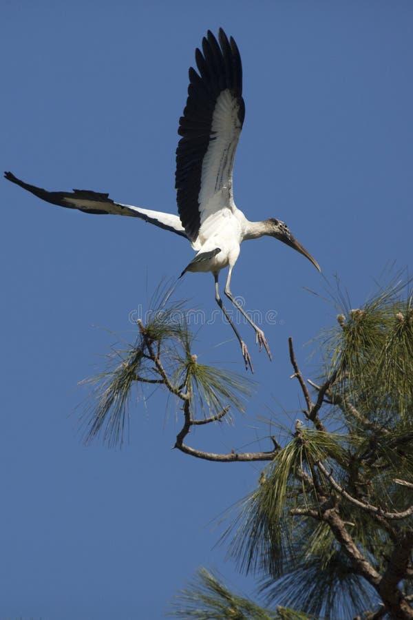 Ξύλινος πελαργός που προσγειώνεται σε ένα δέντρο πεύκων στην κεντρική Φλώριδα στοκ εικόνες με δικαίωμα ελεύθερης χρήσης