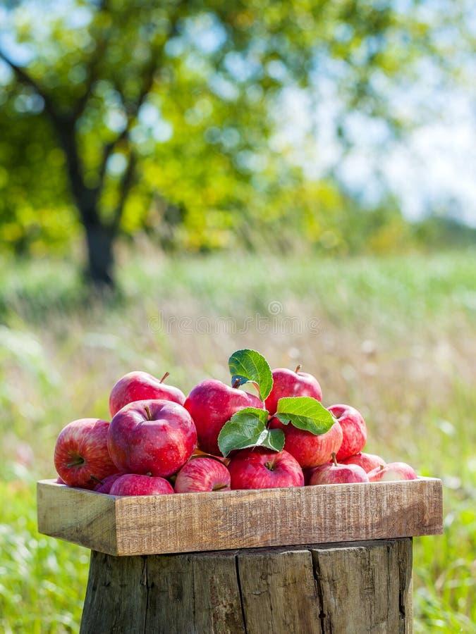 Ξύλινο κιβώτιο των κόκκινων μήλων στον οπωρώνα μήλων στοκ εικόνα με δικαίωμα ελεύθερης χρήσης