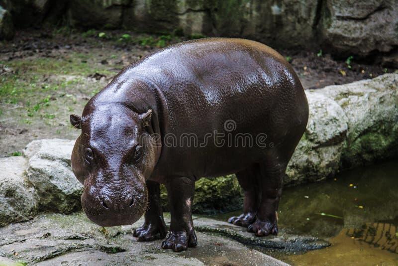 Ογκώδες hippo που βλέπει σε έναν ζωολογικό κήπο στοκ φωτογραφία