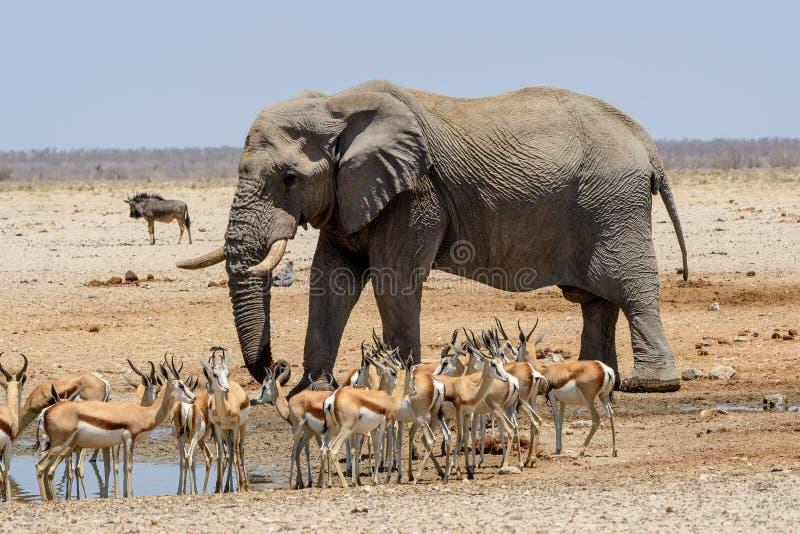 Ογκώδης ελέφαντας του Bull που πλησιάζει το waterhole στοκ φωτογραφία με δικαίωμα ελεύθερης χρήσης