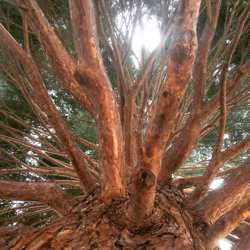 Ογκώδες δέντρο στοκ εικόνα με δικαίωμα ελεύθερης χρήσης