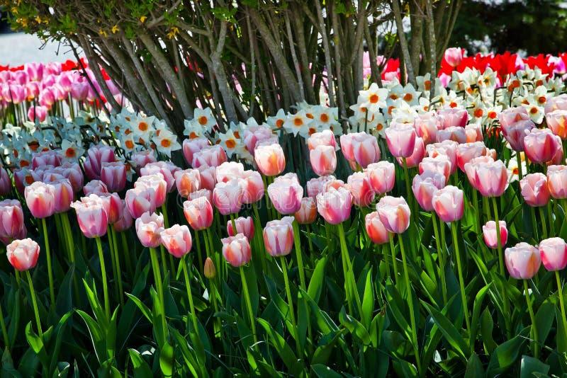 Οδοντώστε TulipsFlowers Skagit Ουάσιγκτον στοκ εικόνα