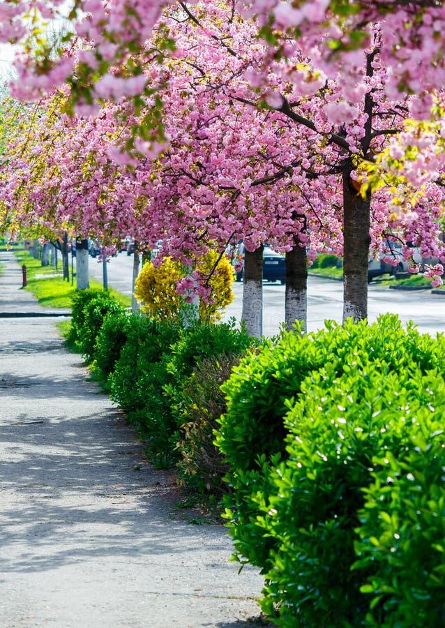Οδός με τη σειρά των ανθίζοντας δέντρων κερασιών στοκ φωτογραφίες