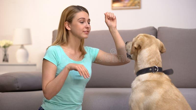 Οικιακός ιδιοκτήτης που διδάσκει σε ανακτητές σκύλους να εκτελούν εντολές, πειθαρχία σε ζώα στοκ φωτογραφίες με δικαίωμα ελεύθερης χρήσης