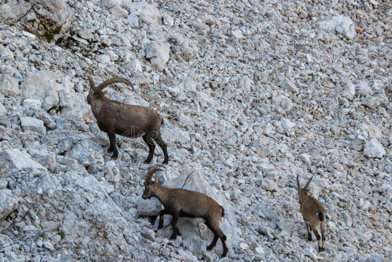 Οικογένεια αγριοκάτσικων στα βουνά στοκ φωτογραφία με δικαίωμα ελεύθερης χρήσης