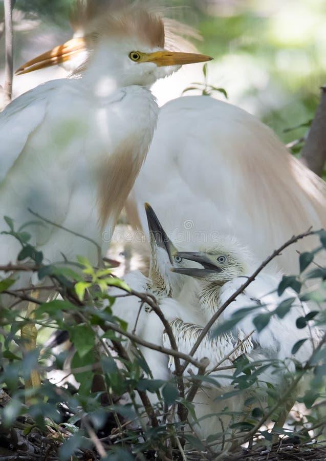 Οικογένεια βοοειδές-τσικνιάδων στοκ φωτογραφία