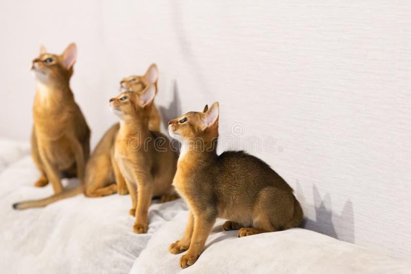 Οικογένεια γατών Abyssinian Αρχαία φυλή γατών στοκ φωτογραφίες με δικαίωμα ελεύθερης χρήσης
