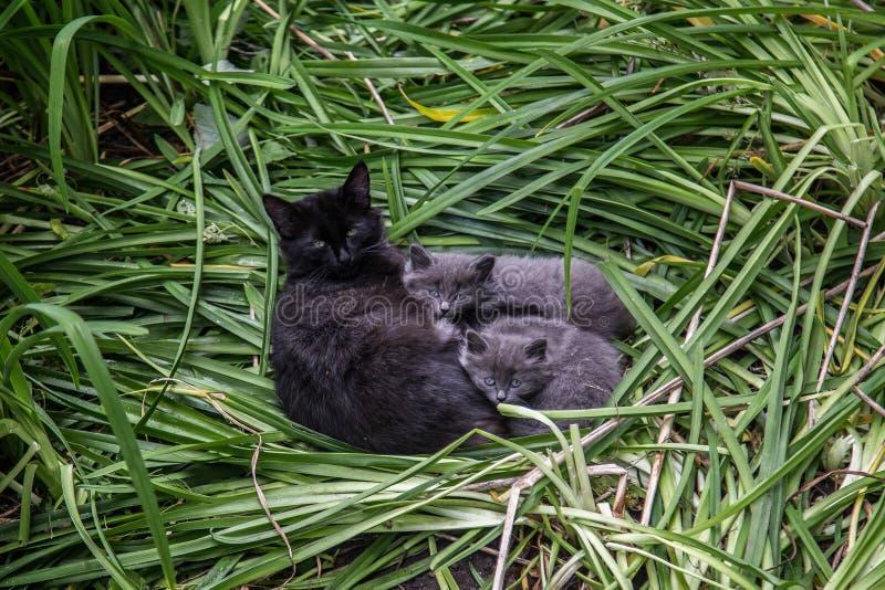 Οικογένεια γατών ` s Χαριτωμένη καλή χνουδωτή μαύρη γάτα με δύο γκρίζα γατάκια στην πράσινη χλόη στοκ εικόνες