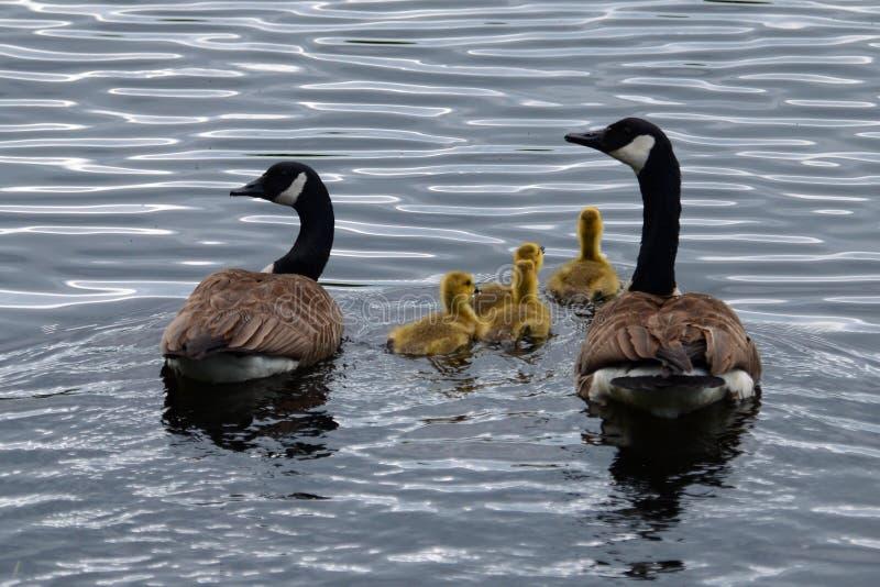 Οικογένεια καναδοχηνών στοκ εικόνα