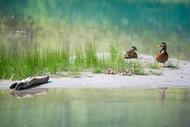 Οικογένεια παπιών με τα μωρά στον ποταμό με το νερό χλόης στοκ εικόνα