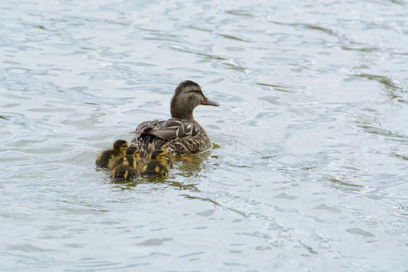 Οικογένεια παπιών πρασινολαιμών που κολυμπά από κοινού στοκ φωτογραφίες