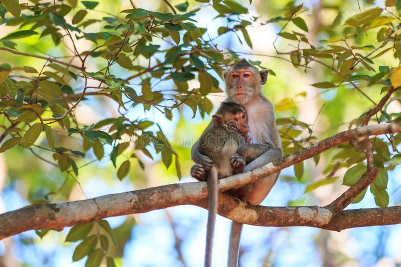 Οικογένεια πιθήκων (καβούρι-που τρώει macaque) στο δέντρο στοκ φωτογραφίες με δικαίωμα ελεύθερης χρήσης