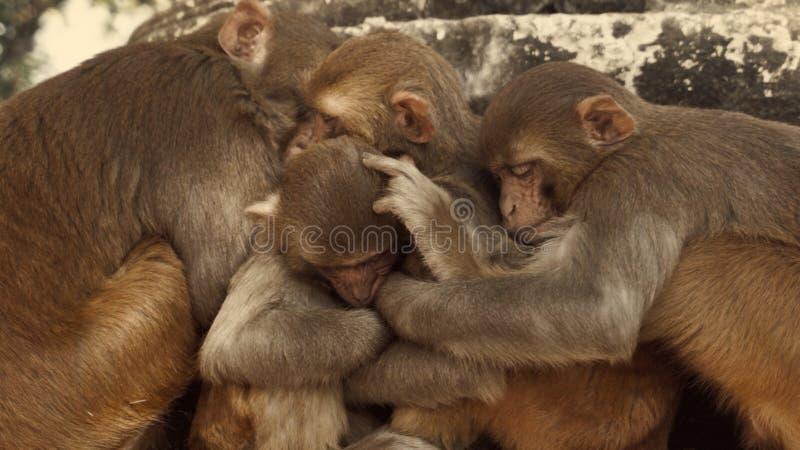 Οικογένεια πιθήκων ναών που αγκαλιάζει και που κοιμάται στοκ εικόνα με δικαίωμα ελεύθερης χρήσης
