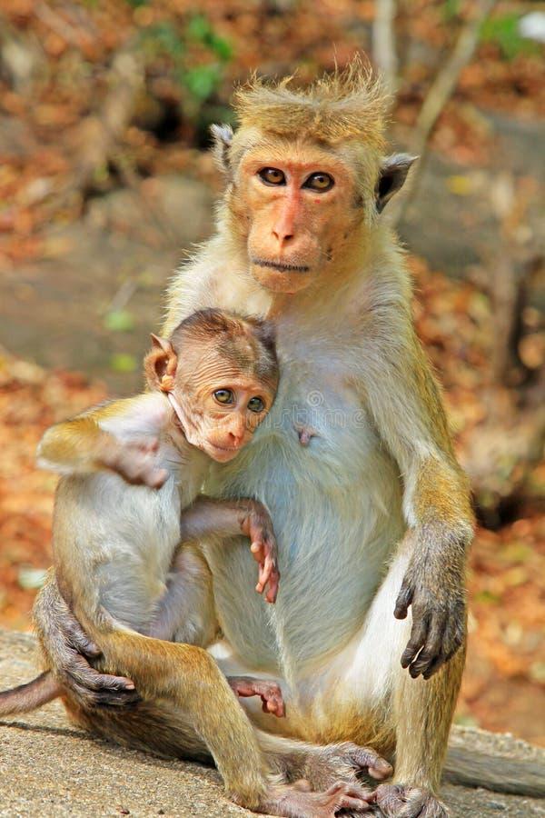 Οικογένεια πιθήκων τοκών macaque, Σρι Λάνκα στοκ φωτογραφία