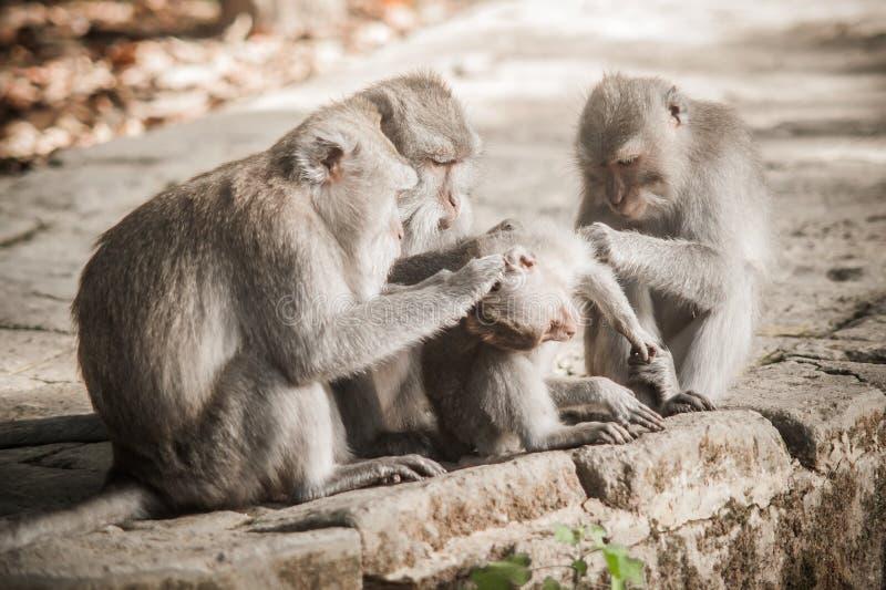 Οικογένεια πιθήκων Macaque που καλλωπίζει και που χαλαρώνει στο μυστικό πίθηκο για στοκ φωτογραφία με δικαίωμα ελεύθερης χρήσης