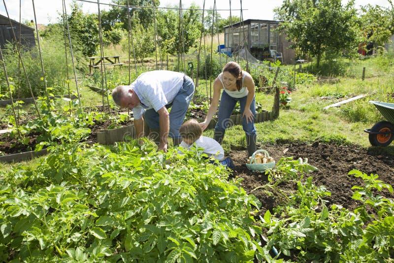 Οικογένεια που καλλιεργεί μαζί στον κοινοτικό κήπο στοκ εικόνα