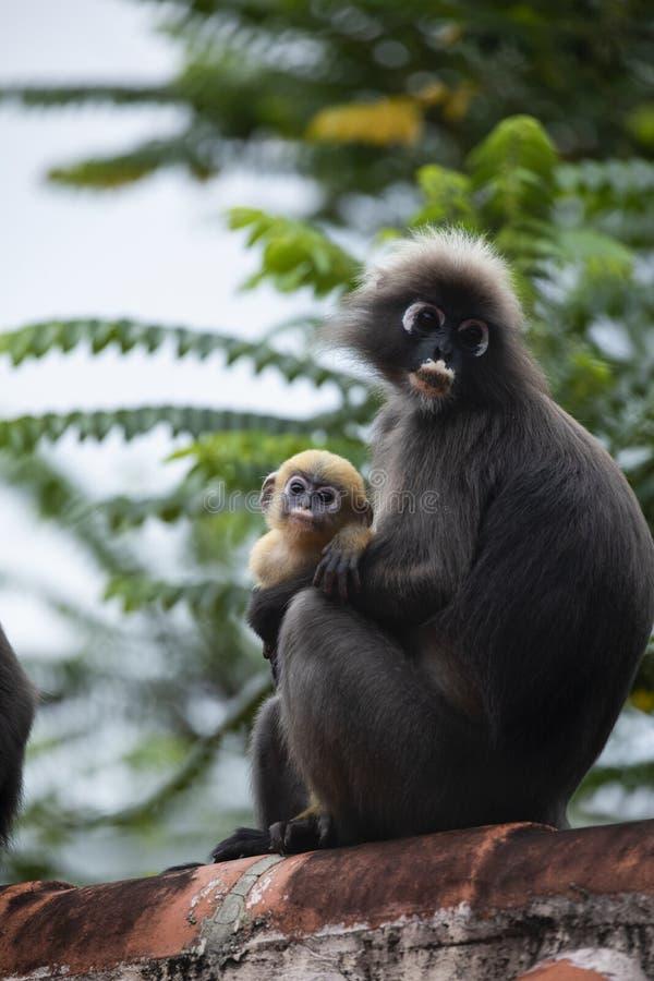 Οικογένεια του σκοτεινού πιθήκου φύλλων ή του με γυαλιά langur με την κίτρινη συνεδρίαση πιθήκων μωρών στη στέγη στοκ φωτογραφία με δικαίωμα ελεύθερης χρήσης