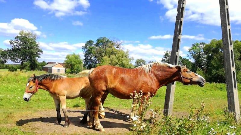 Οικογένεια των αλόγων με foal στοκ εικόνες