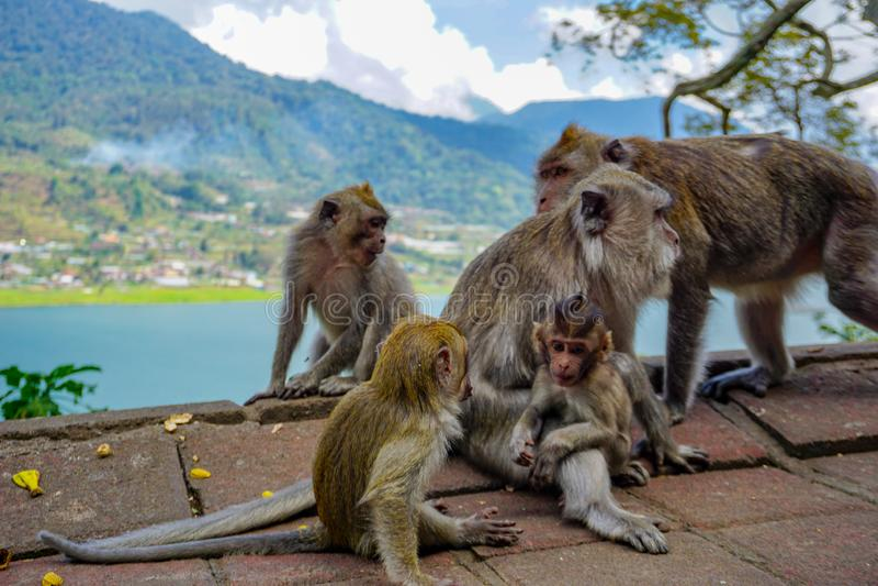 Οικογένεια των πιθήκων με ένα μικρό μωρό macaque κοντά σε Tample στο δάσος πιθήκων, Ubud, Μπαλί, Ινδονησία στοκ φωτογραφία με δικαίωμα ελεύθερης χρήσης