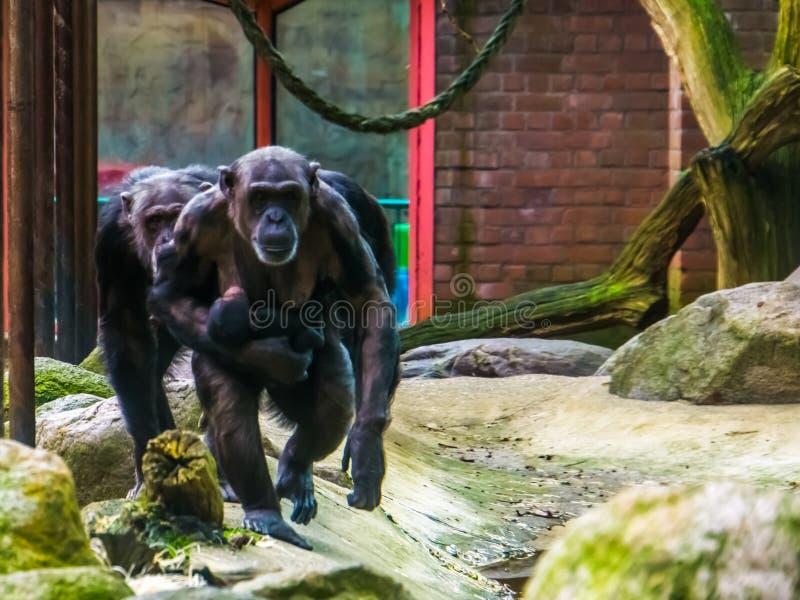 Οικογένεια των χιμπατζών που περπατά προς τη κάμερα, μητέρα που κρατά το μωρό της, πίθηκοι με alopecia το areata στοκ φωτογραφία