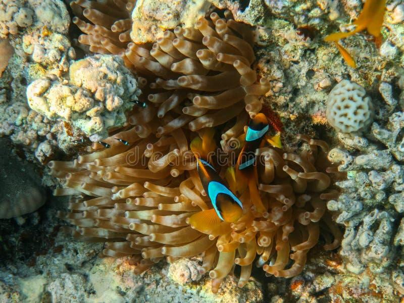 Οικογένεια των ψαριών και της θάλασσας Anemone κλόουν στοκ εικόνες με δικαίωμα ελεύθερης χρήσης