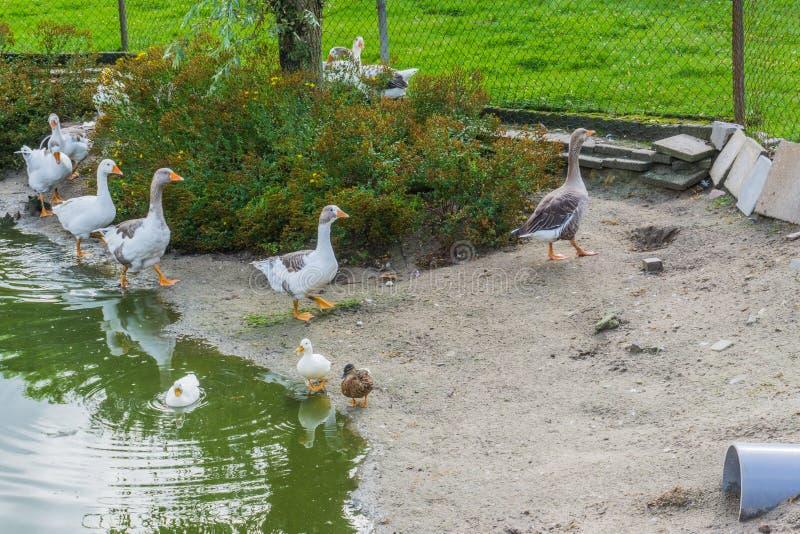 Οικογένεια χήνων που περπατά στη λίμνη με τα διαφορετικά χρώματα και μερικές πάπιες στοκ εικόνες