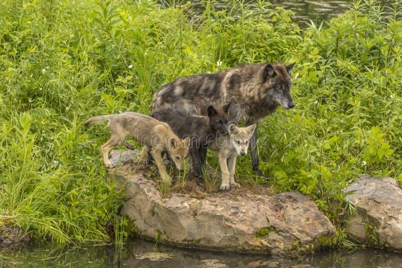 Οικογένεια λύκων στοκ φωτογραφία