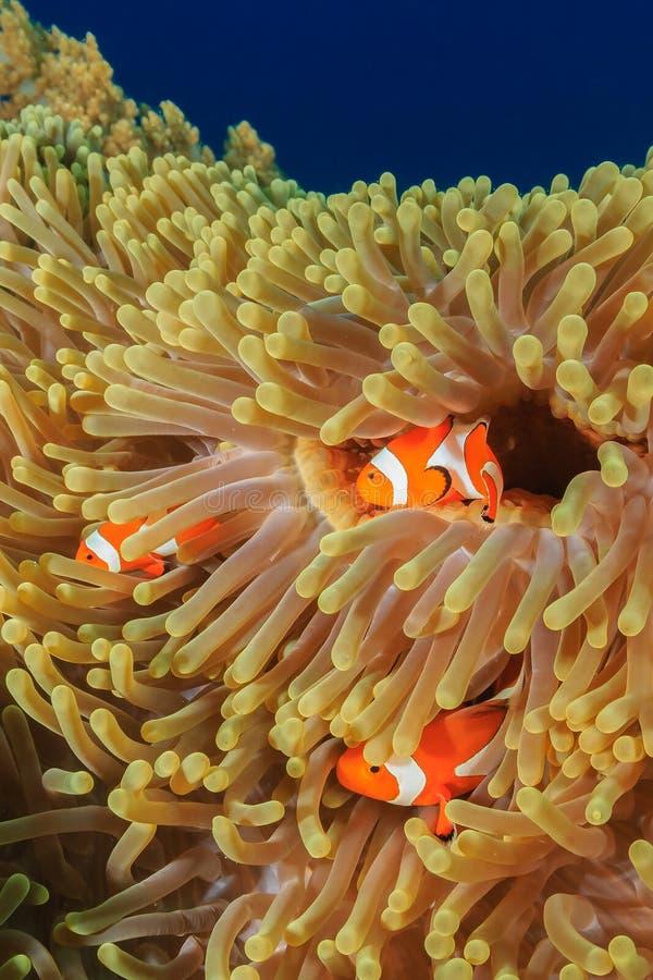 Οικογένεια Clownfish στοκ φωτογραφία