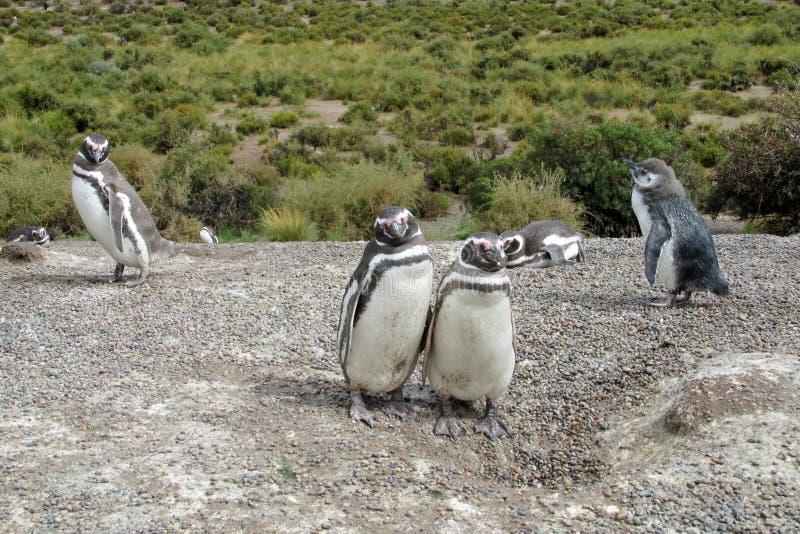 Οικογένεια Magellan penguins στοκ φωτογραφία με δικαίωμα ελεύθερης χρήσης