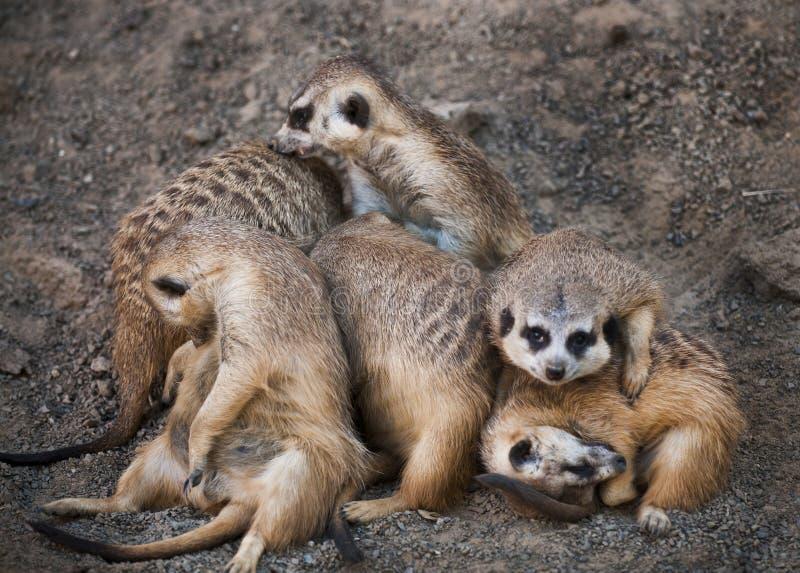 Download οικογένεια meerkat στοκ εικόνα. εικόνα από κατακόρυφα - 22778079