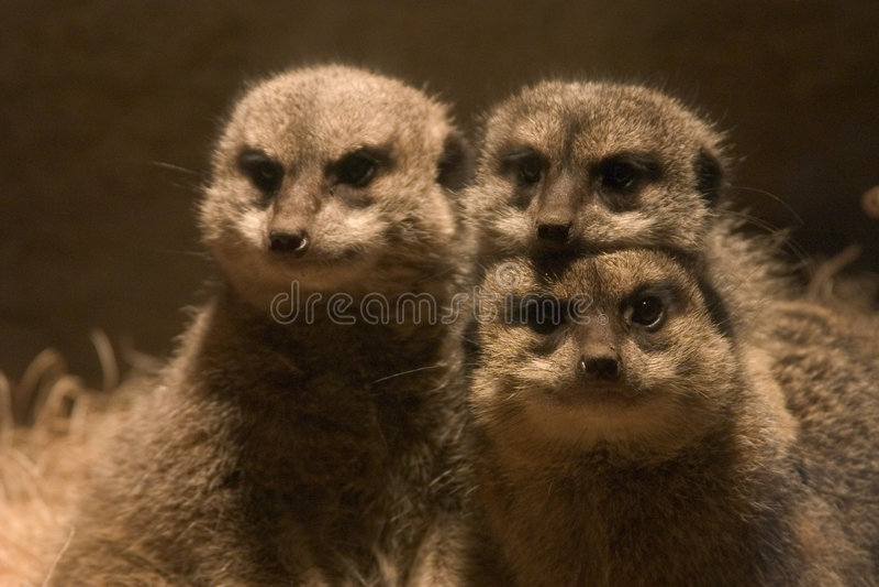 Download οικογένεια meerkats στοκ εικόνες. εικόνα από κεφάλι, κλείστε - 101116
