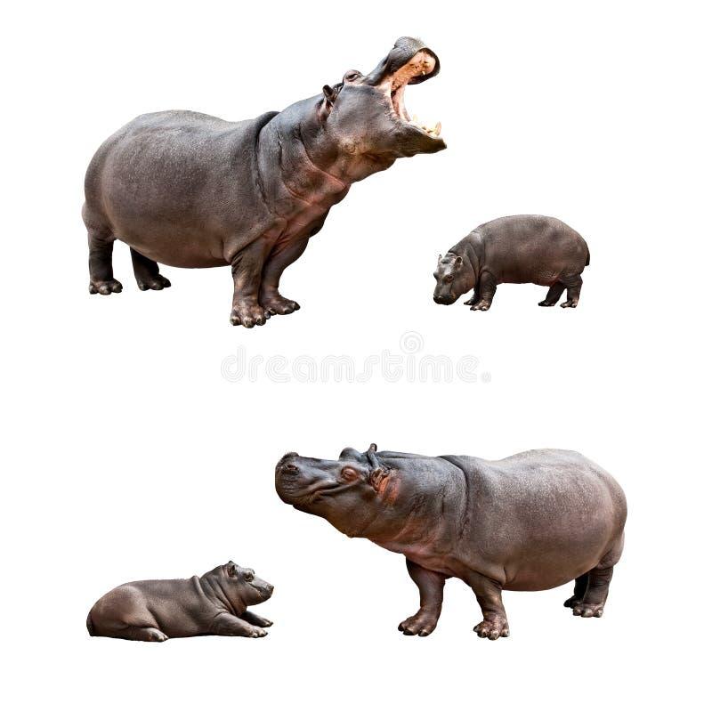 Οικογενειακά hippos με τα babes στοκ φωτογραφία με δικαίωμα ελεύθερης χρήσης