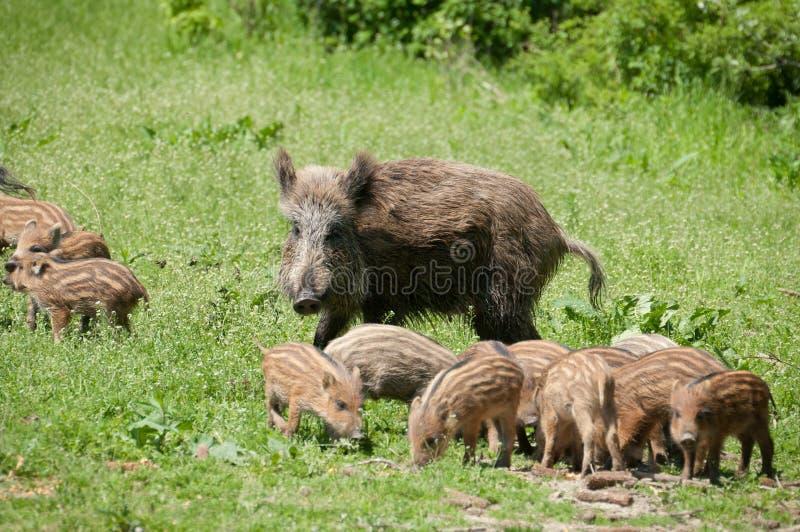 οικογενειακές άγρια περιοχές κάπρων στοκ εικόνες