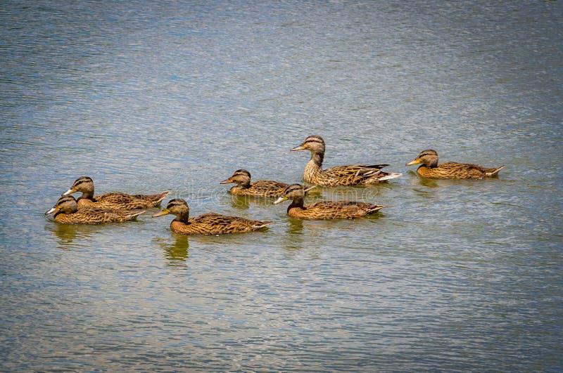 Οικογενειακή κολύμβηση παπιών στοκ εικόνα