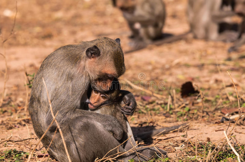 Οικογενειακοί πίθηκοι & x28  Καβούρι-κατανάλωση macaque & x29  και κρύο και σίτιση μωρών στοκ εικόνα με δικαίωμα ελεύθερης χρήσης