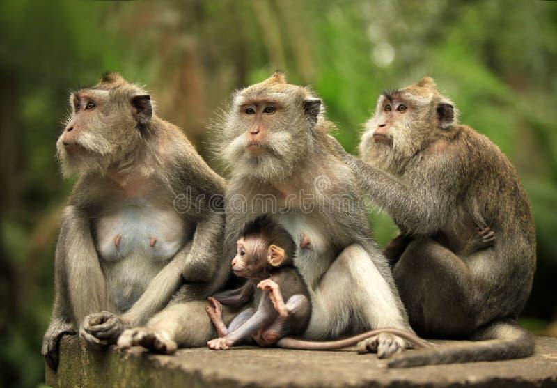 οικογενειακοί πίθηκοι στοκ φωτογραφίες με δικαίωμα ελεύθερης χρήσης
