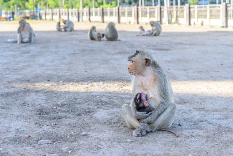 Οικογενειακός πίθηκος σε Lopburi, Ταϊλάνδη στοκ φωτογραφίες