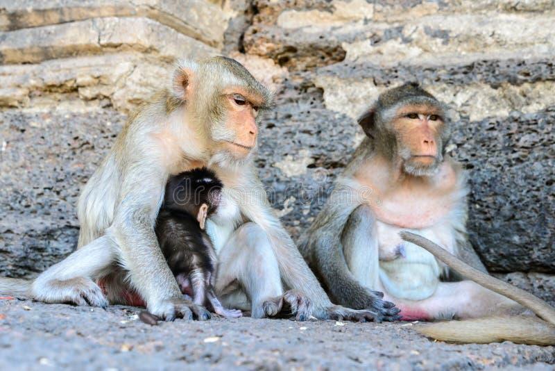 Οικογενειακός πίθηκος σε Lopburi, Ταϊλάνδη στοκ φωτογραφίες με δικαίωμα ελεύθερης χρήσης