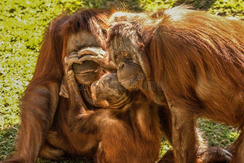 οικογενειακός orangutan στοκ φωτογραφία