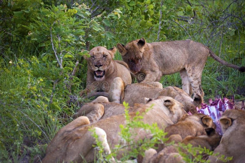 οικογενειακό λιοντάρι στοκ εικόνες