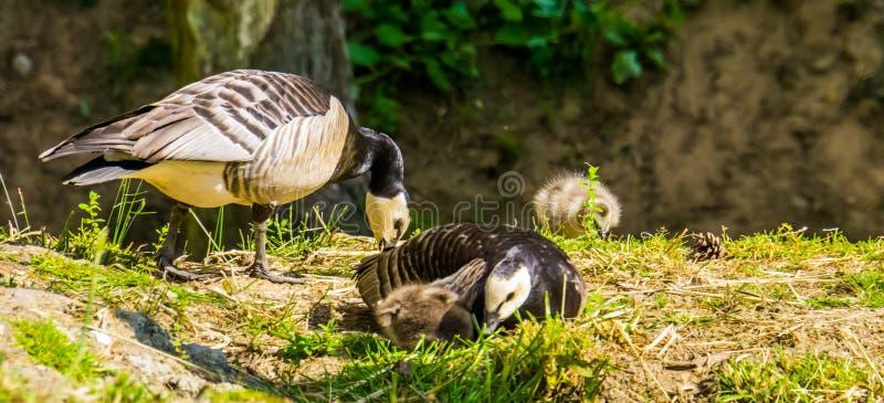 Οικογενειακό πορτρέτο οι χήνες, τροπικό specie πουλιών από την Αμερική στοκ φωτογραφία
