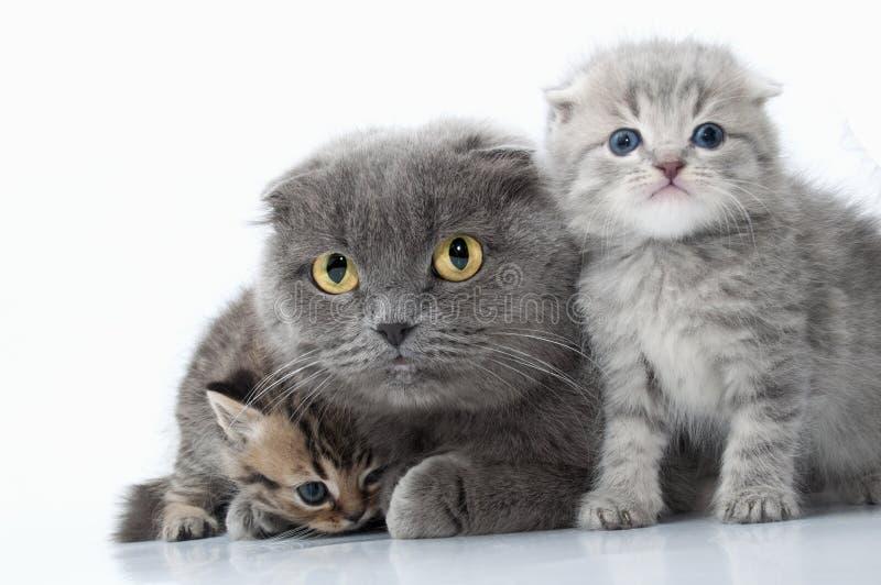 Οικογενειακό πορτρέτο της σκωτσέζικης γάτας μητέρων αυτιών πτυχών με τα γατάκια της στοκ φωτογραφία με δικαίωμα ελεύθερης χρήσης
