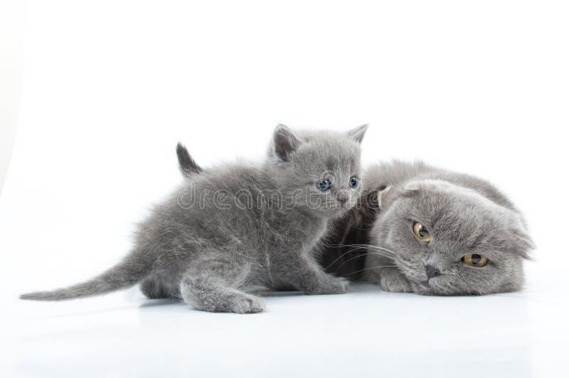 Οικογενειακό πορτρέτο των σκωτσέζικων γατών πτυχών στοκ εικόνα με δικαίωμα ελεύθερης χρήσης