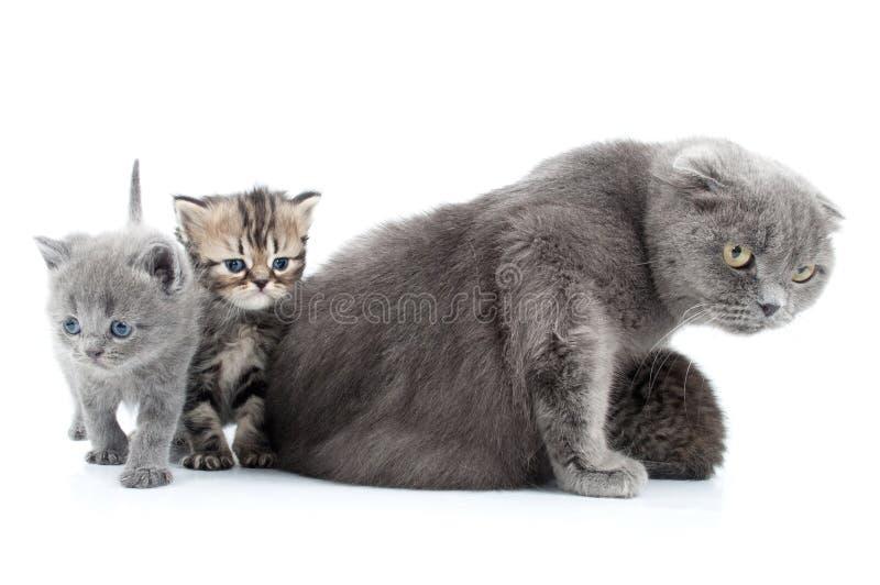 Οικογενειακό πορτρέτο των σκωτσέζικων γατών πτυχών στοκ εικόνες