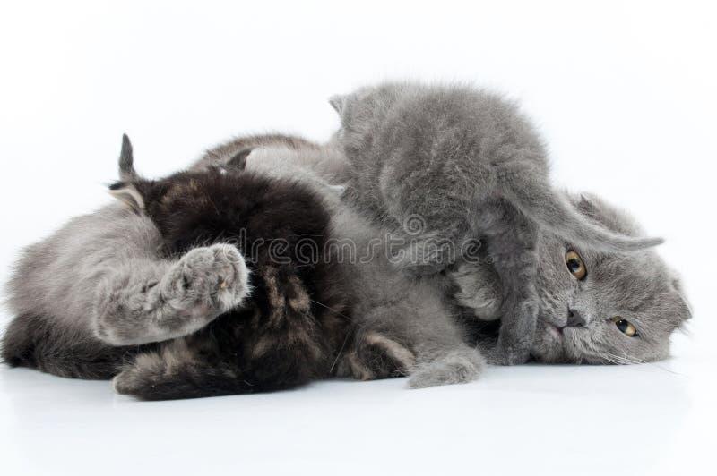 Οικογενειακό πορτρέτο των σκωτσέζικων γατών πτυχών στοκ εικόνα