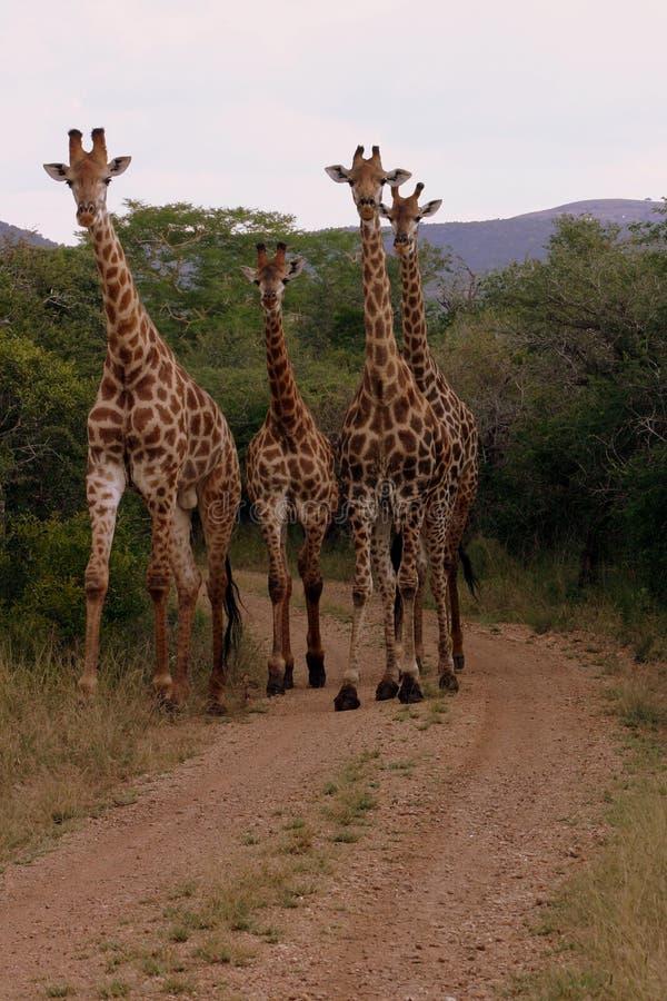 οικογενειακό giraffe στοκ εικόνες με δικαίωμα ελεύθερης χρήσης