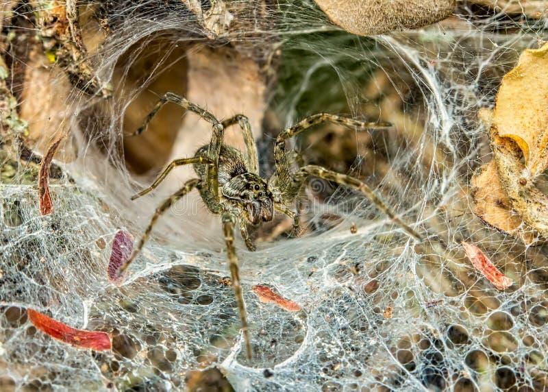 Οικογενεια Pisauridae αράχνη στο διαδίκτυο στον κήπο, φωτογραφία με τη φύση στοκ εικόνες