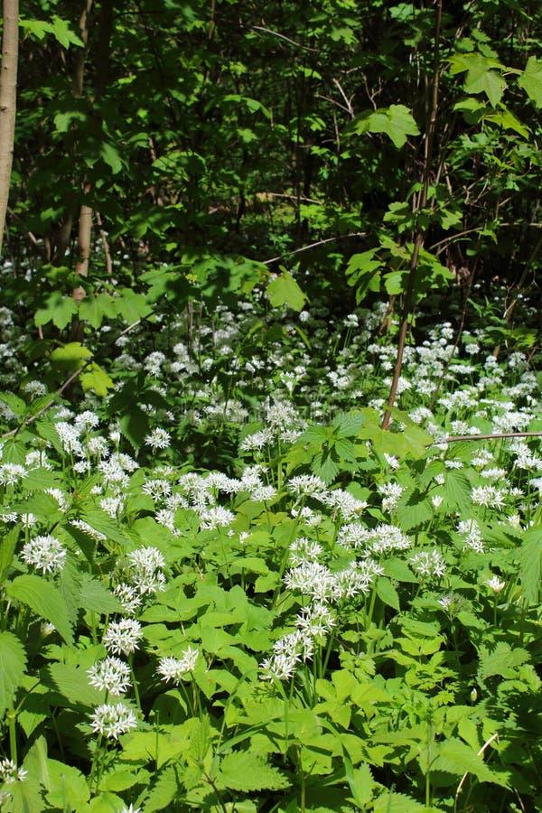 Οι άγρια περιοχές αντέχουν Allium σκόρδου το ursinum στο λουλούδι στο παρόχθιο δάσος στη Λειψία, Γερμανία στοκ φωτογραφία