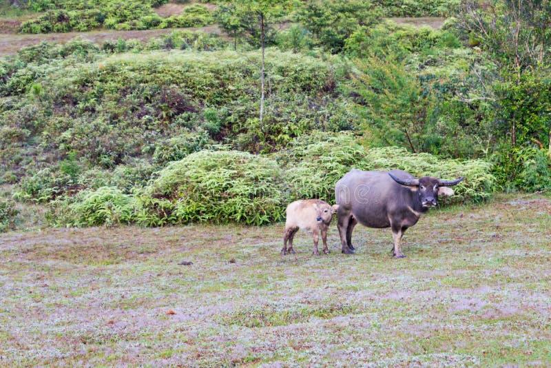 Οι άγριοι βούβαλοι ζουν στο δασικό μέρος 3 στοκ φωτογραφίες με δικαίωμα ελεύθερης χρήσης